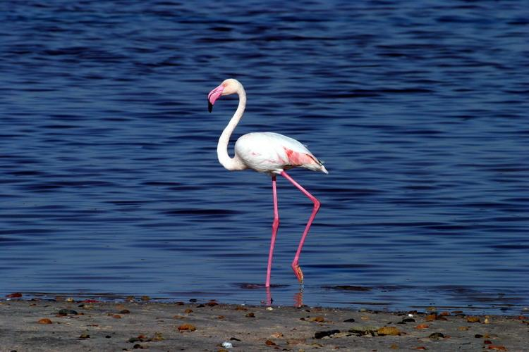 Cagliari flamingo